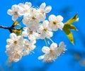 Cherry Tree Blossoming