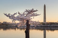 Cherry Tree blossoms in front of the Washington Monument and Tidal Basin Royalty Free Stock Photo