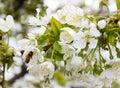 Cherry Tree Branch Bud Blossom...