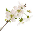 Cherry tree branch with flowers isolated on white background Royalty Free Stock Photography