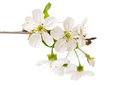 Cherry tree branch with flowers isolated on white background Stock Photos