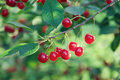 Cherry tree branch macro view. Red berry fruit plant green leaves, summer time garden background. Seleactive focus Royalty Free Stock Photo