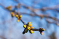 Cherry tree buds spring on branches Stock Photography
