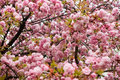 Cherry tree close up branches with spring bloom Royalty Free Stock Photography