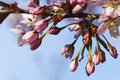 Cherry Tree Flower Buds Royalty Free Stock Photo