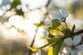 Cherry Tree Flowers Blooming I...