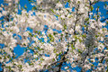 Cherry tree in full blossom bright Royalty Free Stock Image