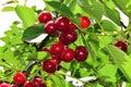 Cherry on tree Royalty Free Stock Photo