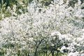 Cherry tree. Cherry orchard in bloom. Spring garden Royalty Free Stock Photo