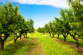 Cherry Tree Orchard Royalty Free Stock Photo