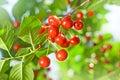 Cherry tree organic healthy fruit Stock Photography