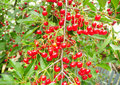 Cherry tree with ripe sour red cherries.  A cherry tree. Royalty Free Stock Photo