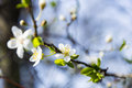 Cherry tree spring flowers Royalty Free Stock Photo