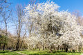 Cherry tree in the spring park scenic view of blooming Stock Photos