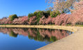 Cherry trees begin a florescer washington dc Foto de Stock