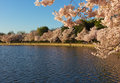 Cherry trees blossom around Tidal Basin in Washington DC, USA. Royalty Free Stock Photo