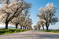 Cherry trees line asphalt road lined with flowering Stock Photo