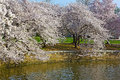 Cherry trees at peak blossom around the Tidal Basin in Washington DC, USA. Royalty Free Stock Photo