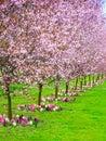 Cherry Trees In A Row. Garden ...