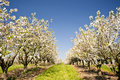 Cherry trees in schleswig holstein germany Stock Photography
