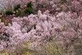 Cherry trees and vivid peach blossoms on the hill,Hanamiyama Park,Fukushima,Tohoku,Japan. Royalty Free Stock Photo