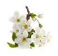 Cherry twig in bloom Royalty Free Stock Image
