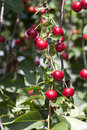 Cherry twigs with ripe fruits for harvesting Royalty Free Stock Image