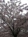 Cherryblossom beautiful tree Royalty Free Stock Photos