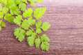Chervil condiment plant green fresh raw on wooden background Stock Image