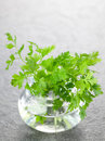 Chervil in a glass Royalty Free Stock Photo