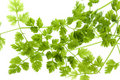 Chervil Leaves Isolated Royalty Free Stock Photo