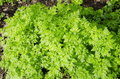 Chervil. Royalty Free Stock Photo