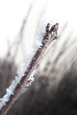 Chery branch covered in ice Royalty Free Stock Photography