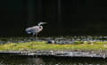 Chesapeake Bay Great Blue Heron Royalty Free Stock Photo