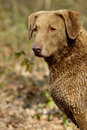 Chesapeake Bay Retriever Stock Photo