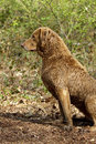 Chesapeake Bay Retriever Stock Image
