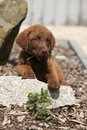 Chesapeake bay retriever puppy lying on stone Royalty Free Stock Images