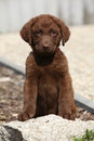 Chesapeake bay retriever puppy sitting and looking at you Royalty Free Stock Photography