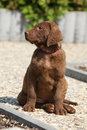 Chesapeake bay retriever puppy on stone path Royalty Free Stock Image