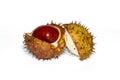Chesnut burr split open showing a fresh conker Royalty Free Stock Image