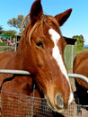 Chesnut horse a coloured at petting farm Royalty Free Stock Photos
