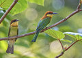 Chest-nut headed green bee eater Royalty Free Stock Photo