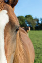 Chestnut arab horse head closeup a of a s with another in the background Royalty Free Stock Photography