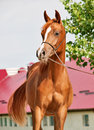 Chestnut arabian filly sunny evening Stock Photos