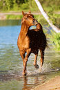 Chestnut arabian horse stallion runs in water Stock Image