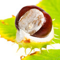 Chestnut with autumn leafs on white background Royalty Free Stock Photos