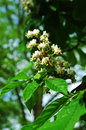 Chestnut blossom close up of blossoming tree Stock Image