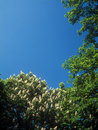 Chestnut blossoms. Royalty Free Stock Photography