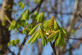 Chestnut blossoms dissolve fresh green young leaves in early spring Royalty Free Stock Photo
