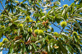 Chestnut branch with closed burr green tree and blue sky in out of focus background Royalty Free Stock Photo